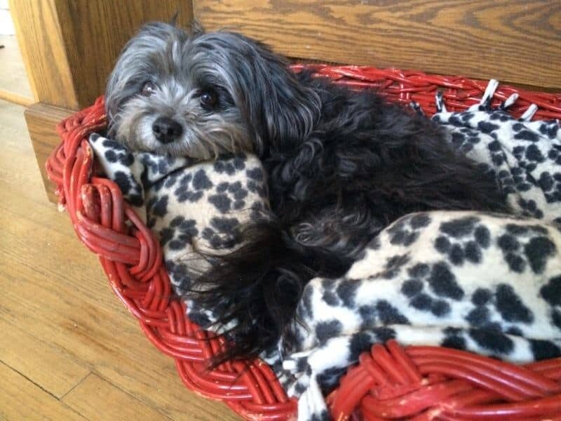 Buttons the Lhasa Poo